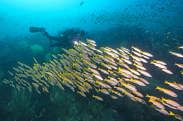 Schooling yellowtails, Dimaniyat Islands, Gulf of Oman, Oman, Middle East