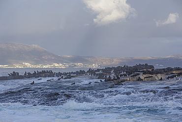 Cape fur seals (Arctocephalus pusillus pusillus), Seal Island, False Bay, Simonstown, Western Cape, South Africa, Africa