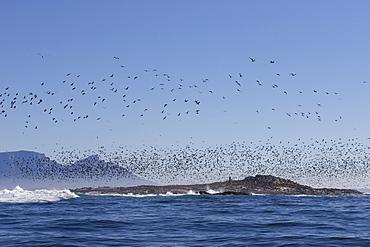 Cape cormorant (Phalacrocorax capensis), Seal Island, False Bay, Simonstown, Western Cape, South Africa, Africa