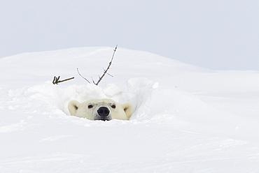 Polar bear (Ursus maritimus), Wapusk National Park, Churchill, Hudson Bay, Manitoba, Canada, North America