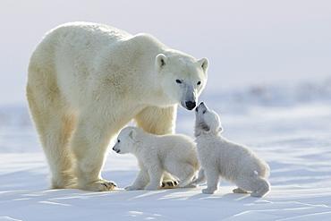 Polar bear (Ursus maritimus) and cubs, Wapusk National Park, Churchill, Hudson Bay, Manitoba, Canada, North America