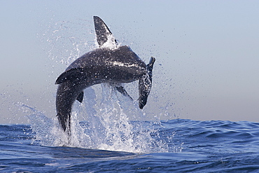 Great white shark (Carcharodon carcharias), Seal Island, False Bay, Simonstown, Western Cape, South Africa, Africa