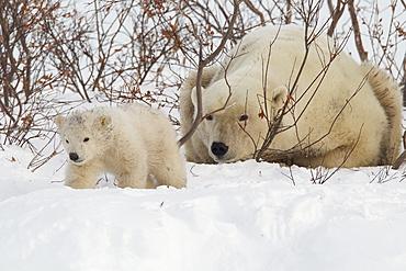Polar bear (Ursus maritimus) and cub, Wapusk National Park, Churchill, Hudson Bay, Manitoba, Canada, North America