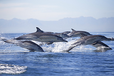 Common dolphin (Delphinus capensis), Seal Island, False Bay, Simonstown, Western Cape, South Africa, Africa