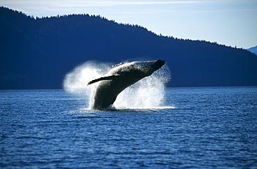 Humpback Whale breaching (Megaptera novaeangliae).Tenakee Inlet, S. E. Alaska