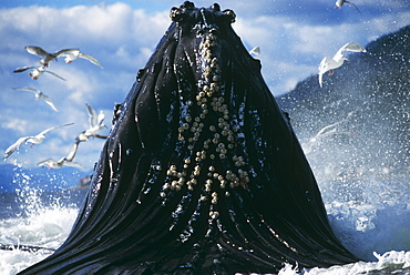 Humpback Whale feeding (Megaptera novaeangliae).
