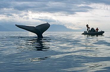 Humpback Whale (Megaptera novaeangliae) sounding and researchers. Alaska
