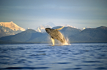 Humpback Whale breaching. Icy Straits, South East Alaska