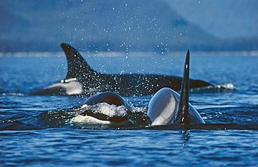 Killer whale (Orcinus orca). S. E. Alaska