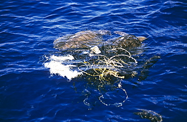Tangled Turtles. Sri Lanka