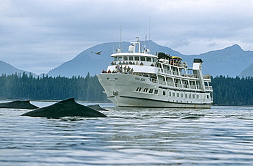 Whale watching boat and whales. Alaska