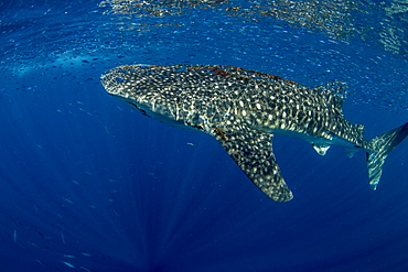 Whale shark (Rhincodon typus) with shoal of fish on the surface), Honda Bay, Palawan, The Philippines, Southeast Asia, Asia