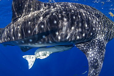 Juvenile whale shark (Rhincodon typus) with a common remora attached in Honda Bay, Palawan, The Philippines, Southeast Asia, Asia