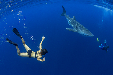 Tourist and tour guide swimming with a whale shark (Rhincodon typus) in Honda Bay, Palawan, The Philippines, Southeast Asia, Asia