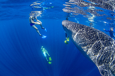 Tourists snorkelling with a whale shark (Rhincodon typu ) in Honda Bay, Puerto Princesa, Palawan, The Philippines, Southeast Asia, Asia