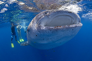 Snorkellers with a juvenile whale shark (Rhincodon typus) feeding at the suface in Honda Bay, Palawan, The Philippines, Southeast Asia, Asia