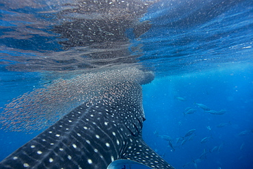 Whale shark (Rhincodon typus) vertical suction feeding on a shoal of red fish, Honda Bay, Palawan, The Philippines, Southeast Asia, Asia