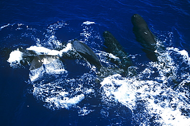 A pod of Sperm whales (Physeter macrocephalus). Sri Lanka
