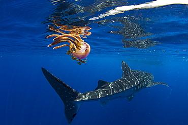Whale shark (Rhincodon typus) swimming past a jellyfish (Thysanostoma loriferum), Honda Bay, Palawan, The Philippines, Southeast Asia, Asia