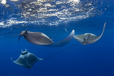 Spinetail devil rays (Mobula mobular) engaged in sexual courtship in Honda Bay, Palawan, The Philippines, Southeast Asia, Asia