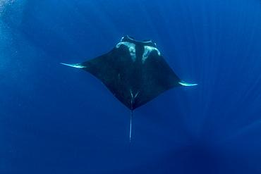 Oceanic manta ray (Manta birostris) feeding near the surface, Honda Bay, Palawan, The Philippines, Southeast Asia, Asia