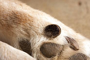 Australian land leech (Gnatbobdellida libbata) feeding on dog's paw, Hopkins Creek, New South Wales, Australia, Pacific