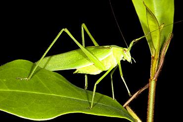 Common garden katydid (Caedicia simplex) on leaf, Hopkins Creek, New South Wales, Australia, Pacific