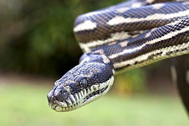 Coastal carpet python (Morelia spilota variegata), Hopkins Creek, New South Wales, Australia, Pacific