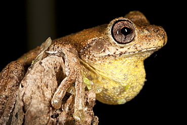 Peron's tree frog (Litoria peronii) on branch, Hopkins Creek, New South Wales, Australia, Pacific