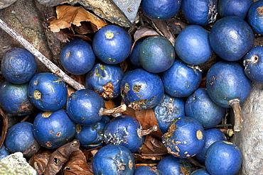 Fallen blue quandong fruit (Elaeocarpus grandis [Elaeocarpus Angustifolius]) under parent tree, Couchy Creek Nature Reserve, New South Wales, Australia, Pacific