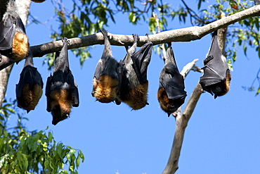 Grey-headed flying-foxes (Pteropus poliocephalus) roosting in tree, Uki, New South Wales, Australia, Pacific