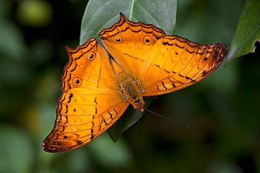 Cruiser butterfly (Vindula arsinoe) male at rest, Kuala Lumpur Butterfly Park, Kuala Lumpur, Malaysia, Southeast Asia, Asia - 940-59