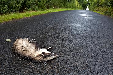 European badger (Meles meles) dead on road in rain, victim of motor vehicle collision, Jedburgh, Scottish Borders, Scotland, United Kingdom, Europe