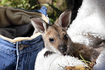 Hand-reared female red-necked wallaby joey (Macropus rufogriseus) 9 months old resting in basket, Eungella, New South Wales, Australia, Pacific