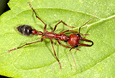 Brown bulldog ant (Myrmecia brevinoda; Myrmecia pyriformis) dorsal view on leaf, Hopkins Creek, New South Wales, Australia, Pacific