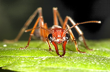 Brown bulldog ant (Myrmecia brevinoda; Myrmecia pyriformis) in defensive posture on leaf, Hopkins Creek, New South Wales, Australia, Pacific
