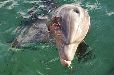 Bottlenose dolphin (Tursiops truncatus) in a sea pen. Red Sea. Captive