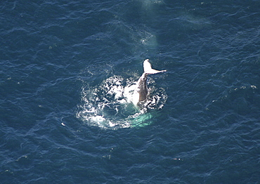 Aerial view of Humpback Whale (Megaptera novaeangliae) tail slapping. Gulf of Maine, USA   (rr)