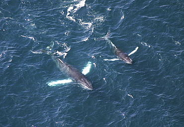 Aerial view of Humpback Whales (Megaptera novaeangliae). Gulf of Maine, USA    (rr)