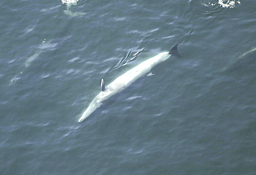 Aerial view of Sei whale (Balaenoptera borealis) surfacing. Gulf of Maine, USA   (rr)