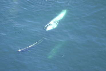 Aerial view of Sei whales (Balaenoptera borealis) surfacing. Gulf of Maine, USA    (rr)