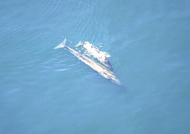 Aerial view of Sei whale (Balaenoptera borealis) with calf. Gulf of Maine, USA   (rr)