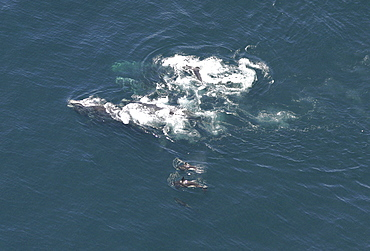 Aerial view of a pod of Killer whales (Orcinus orca) and Northern right whales (Balaena glacialis glacialis). Gulf of Maine, USA     (rr)