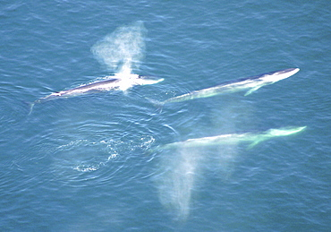Aerial view of Fin whales (Balaenoptera physalus) surfacing. Gulf of Maine, USA    (rr)