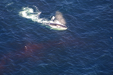 Aerial view of Fin whale (Balaenoptera physalus) surfacing. Gulf of Maine, USA    (rr)