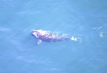 Aerial view of Northern right whale (Balaena glacialis glacialis) surfacing. Gulf of Maine, USA.   (rr)