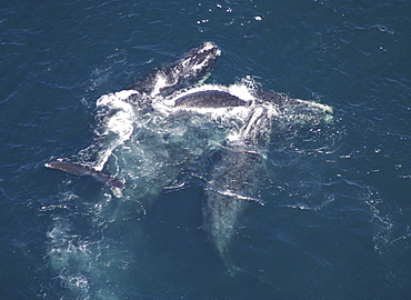 Aerial view of Northern right whales (Balaena glacialis glacialis). Males courting a female. Gulf of Maine, USA.   (rr)
