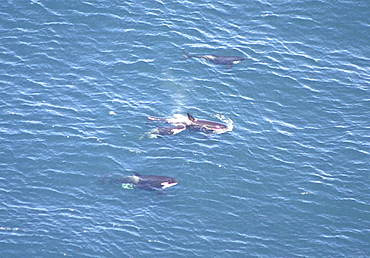 Aerial view of a pod of Killer whales (Orcinus orca). Gulf of Maine, USA     (rr)
