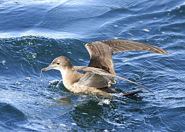 Sooty Shearwater (Puffinus griseus). Gulf of Maine, USA    (rr)