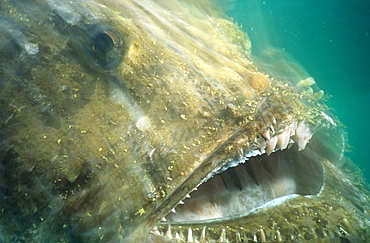 Angler fish (Lophius piscatorius) lunging for prey with mouth open. UK.